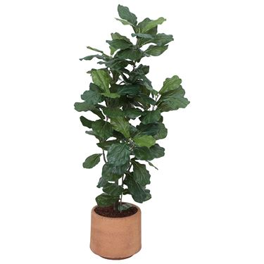 Fiddle Leaf Ficus in Planter