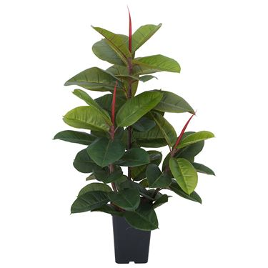 Rubber Plant in Plastic Pot