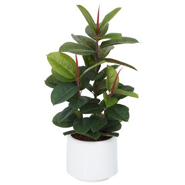 Rubber Plant in Planter