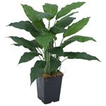 Lily Plant in Plastic Pot